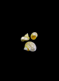 Pearlized Goldmouth, Set of 25