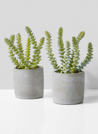 String Of Buttons Succulent In Grey Cement Pot, Set of 2