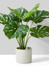 Monstera Plant In Cement Pot