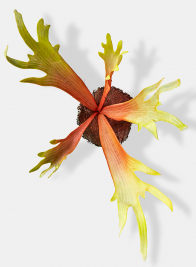 red green staghorn fern artificial plant props