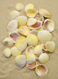 WHITE COCKLES